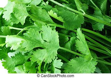 coriander - fresh coriander  background
