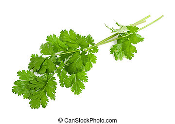 coriander - Fresh coriander leaves isolated on white