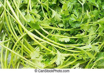Fresh Coriander sativum - is an annual herb in the family ...