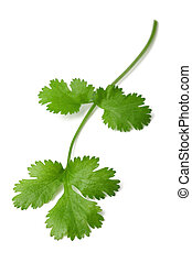 Fresh coriander sprig - Fresh Coriander sprig isolated on...