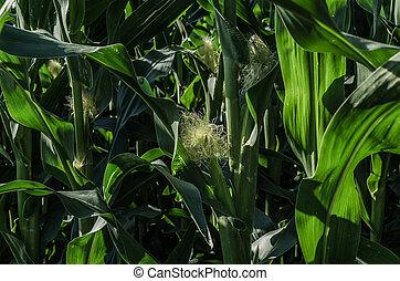 corn in the field