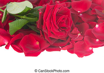 fresh crimson red rose with petals border