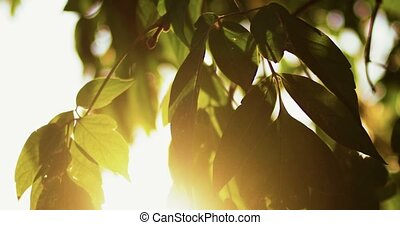 Fresh crisp green oval tree leaves backlit in front of sky with sun flare. Nature background