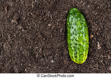 fresh cucumber on the soil background with copy space
