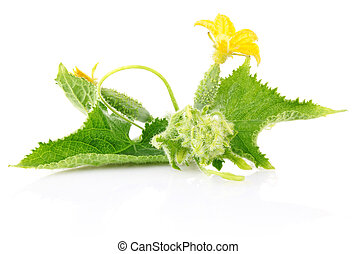 fresh cucumber with flower and leaf