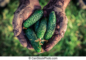 Fresh cucumbers in hands