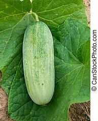 fresh cucumbers  in the vegetable garden
