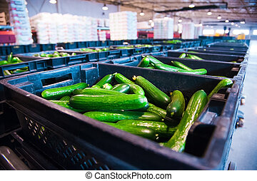 Fresh cucumbers on vegetable processing factory - Sorting...
