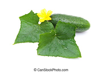 Fresh cucumbers with leaf and flowe