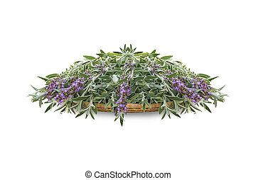 Fresh cut flowering sage on a wicker wooden tray. A bunch of kitchen herb salvia isolated on white background
