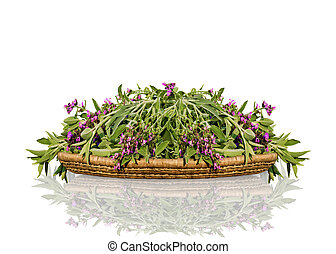 Fresh cut flowering sage on wicker wooden tray. A bunch of kitchen herb salvia with reflection isolated on white background