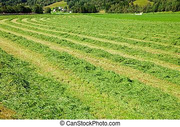 Fresh cut hay in a field - Windrows of freshly cut hay ready...