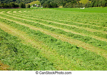 Fresh cut hay in a field - Windrows of freshly cut hay ready...