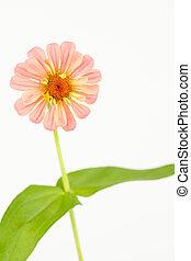 Fresh cut pink zinnia