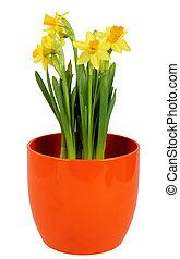 Fresh Daffodils flower in orange flowerpot, isolated on white