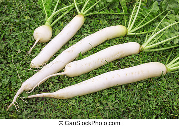 Fresh Daikon radish on the lawn - Daikon dug up in October...