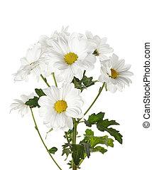 Fresh daisies on white background.