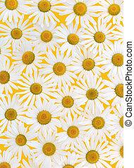 Fresh daisies over yellow background