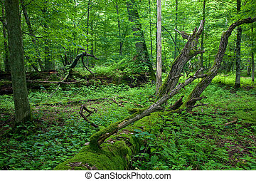Fresh deciduous stand of Bialowieza Forest