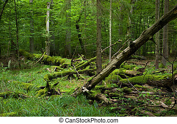 Fresh deciduous stand of Bialowieza Forest in summer