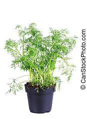 fresh dill in a pot on a white background