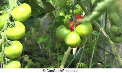 fresh eco tomatoes twig with small green fruit in greenhouse. 4K