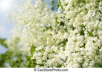elder - fresh elder in springtime in the garden