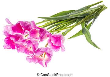 Fresh elegant pink tulips on white.