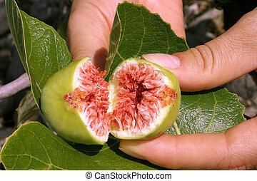 Open fig in girls hand