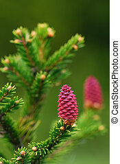 Fresh fir cones on a small branch