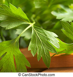 Fresh flat-leaved parsley (Selective Focus, Focus on the middle part and the tip of the right leaf)