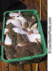 Fresh flatfish in a box. Russia, Baltic Sea