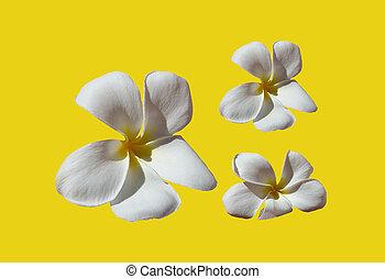 Fresh frangipani or temple tree flower closeup isolated on...