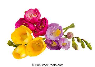 fresh freesias bouquet isolated on white background