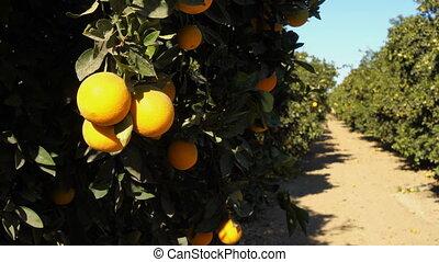 Fresh Fruit Tree Branch Ripe Food Orange Grove - A fruit...