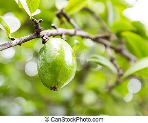 Fresh garcinia (madan) fruit on the tree, The tropical Thai herb in Thailand.