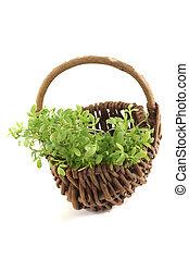 fresh garden cress in a basket
