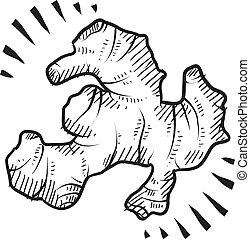 Fresh ginger sketch - Doodle style fresh ginger root...