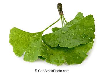 Fresh Gingko Leaves - Fresh wet gingko leaves on white ...