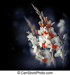 Fresh gladiolus on black background, floral card