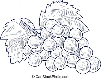 Fresh Grapes Hand Drawn Artistic Sketch