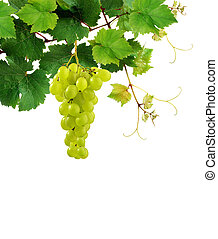 Fresh grapevine and grape