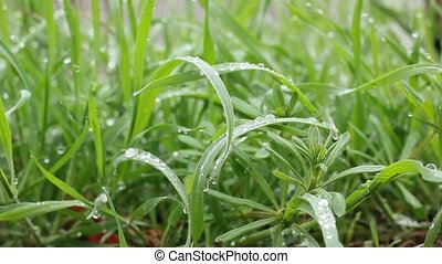 fresh grass after rain