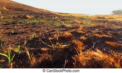Fresh grass sprouts break through the scorched dry earth