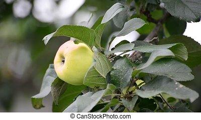 Fresh green apple on tree