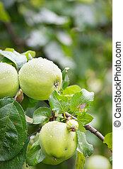 Green apples on a branch in garden