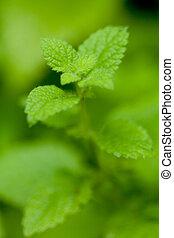 fresh green aromatic mint lemon balm peppermint macro closeup