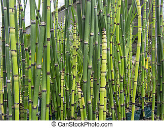 Fresh green bamboo grass