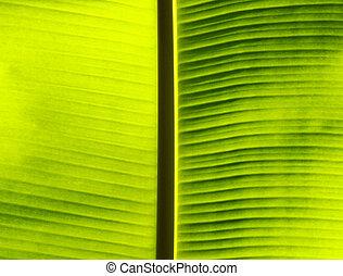 Fresh green banana leaf.