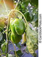 Fresh green bell pepper growing on plant tree garden agriculture farm greenhouse